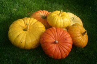 Magatha Bagatha: Pumpkin harvest